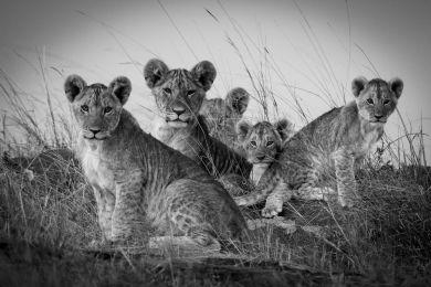 Kenya, lionceaux dans le Masai-Mara (N&B)