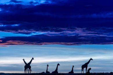 Kenya, girafes dans le Masai-Mara à l'aube