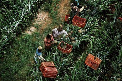 Récolte d'Ananas, Côte-d'Ivoire