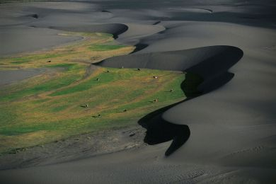 Dairy cows passing dunes, Chile