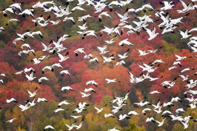 Migration des oies des neiges, Québec, Canada