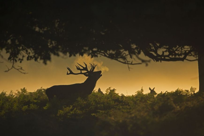 Red deer, London, United Kingdom
