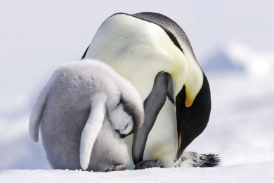 Adult and young baby, emperor penguin, Antarctic