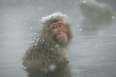 Macaque japonais, Shiga Kogen, Japon