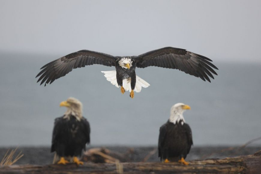 Bald eagle, Alaska, United States