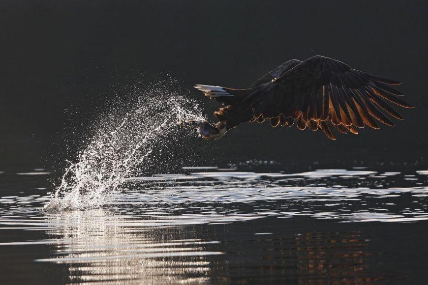 Pygargue à queue blanche, Norvège