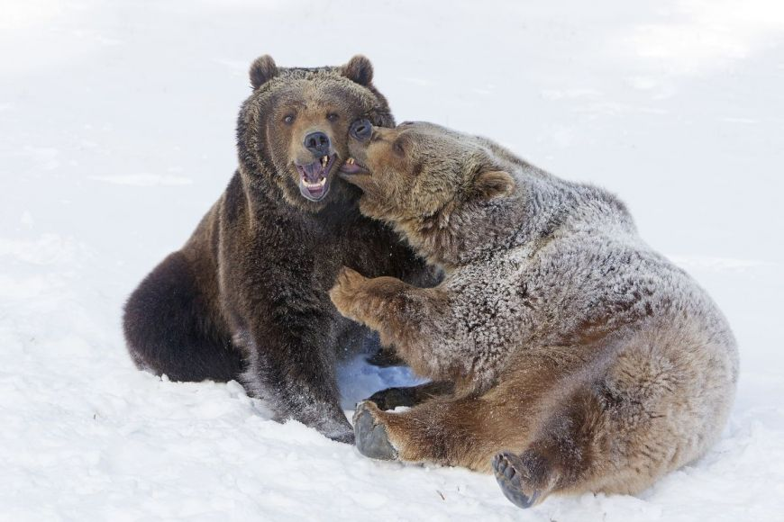 Fighting Grizzly, Montana, United States