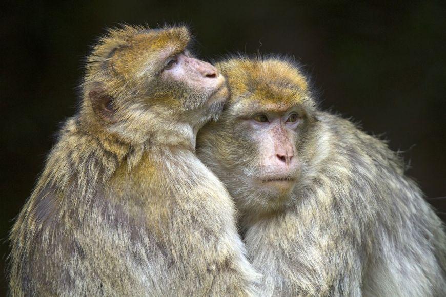 Macaque de Barbarie, Bas-Rhin, France