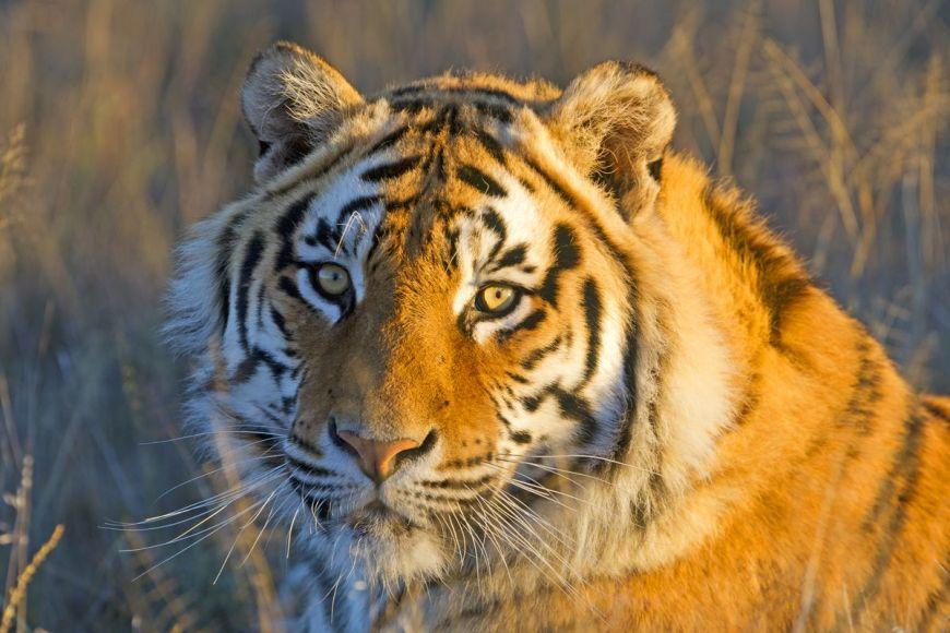 Tigre du Bengale, Afrique du Sud