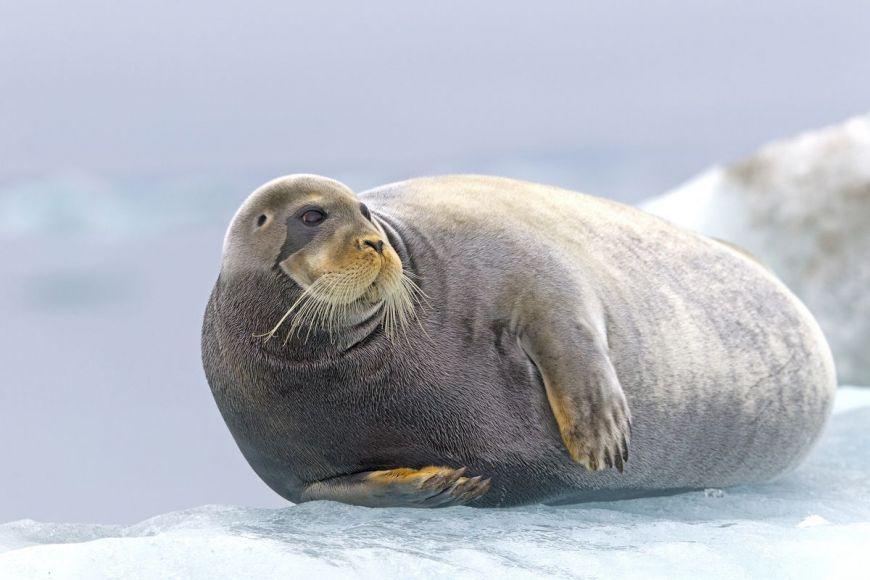 Phoque barbu, Spitsberg, Norvège