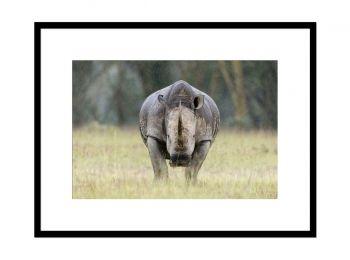 Kenya, rhinocéros blanc
