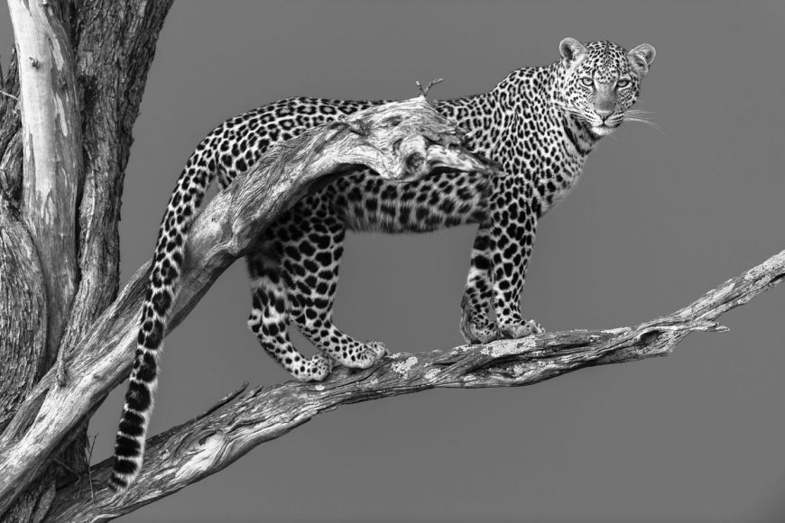 Kenya, female leopard