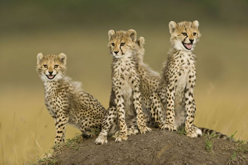 Kenya, cubs in the Masai-Mara