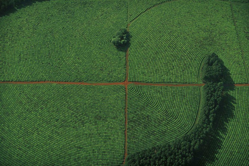 Tea plantation, Argentina
