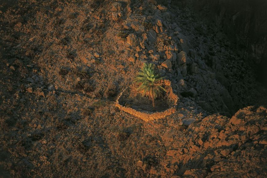 Palm tree, Musandam peninsula, Oman