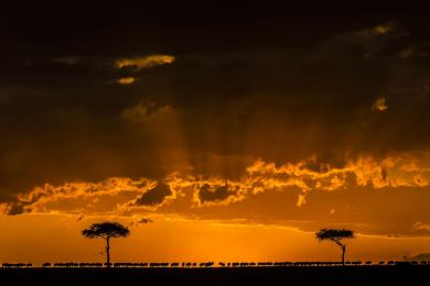 Kenya, wildebeest at sunset