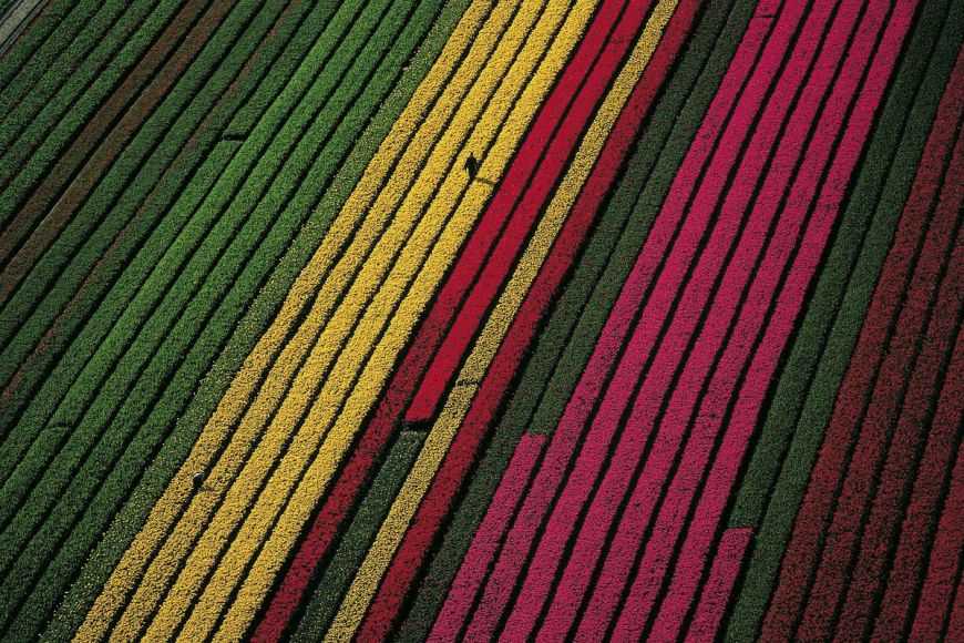 Fields of tulips, Netherlands